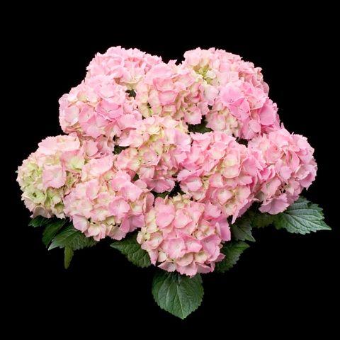 Light Pink Hydrangeas All Year Pink Hydrangea Pink Hydrangea Centerpieces Pink Hydrangea Bouquet