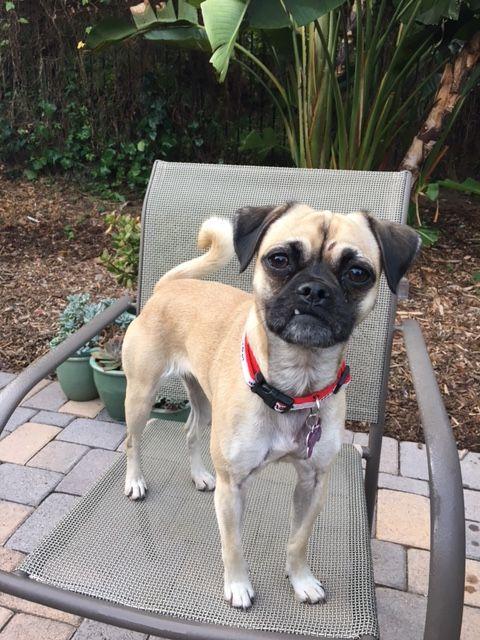 Pug Dog For Adoption In Rancho Santa Margarita Ca Adn 716460 On