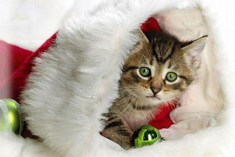 Peek A Boo Christmas Kitten Christmas Cats Christmas Animals