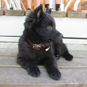 Schipperke Dogs And Puppies For