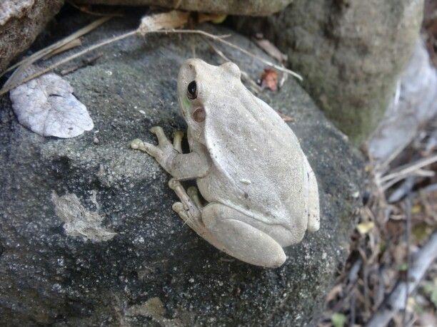 Resultado de imagen para rana albina