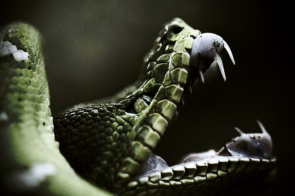 """earthlynation: """" Corallus caninus (by Thierry Montford) """""""