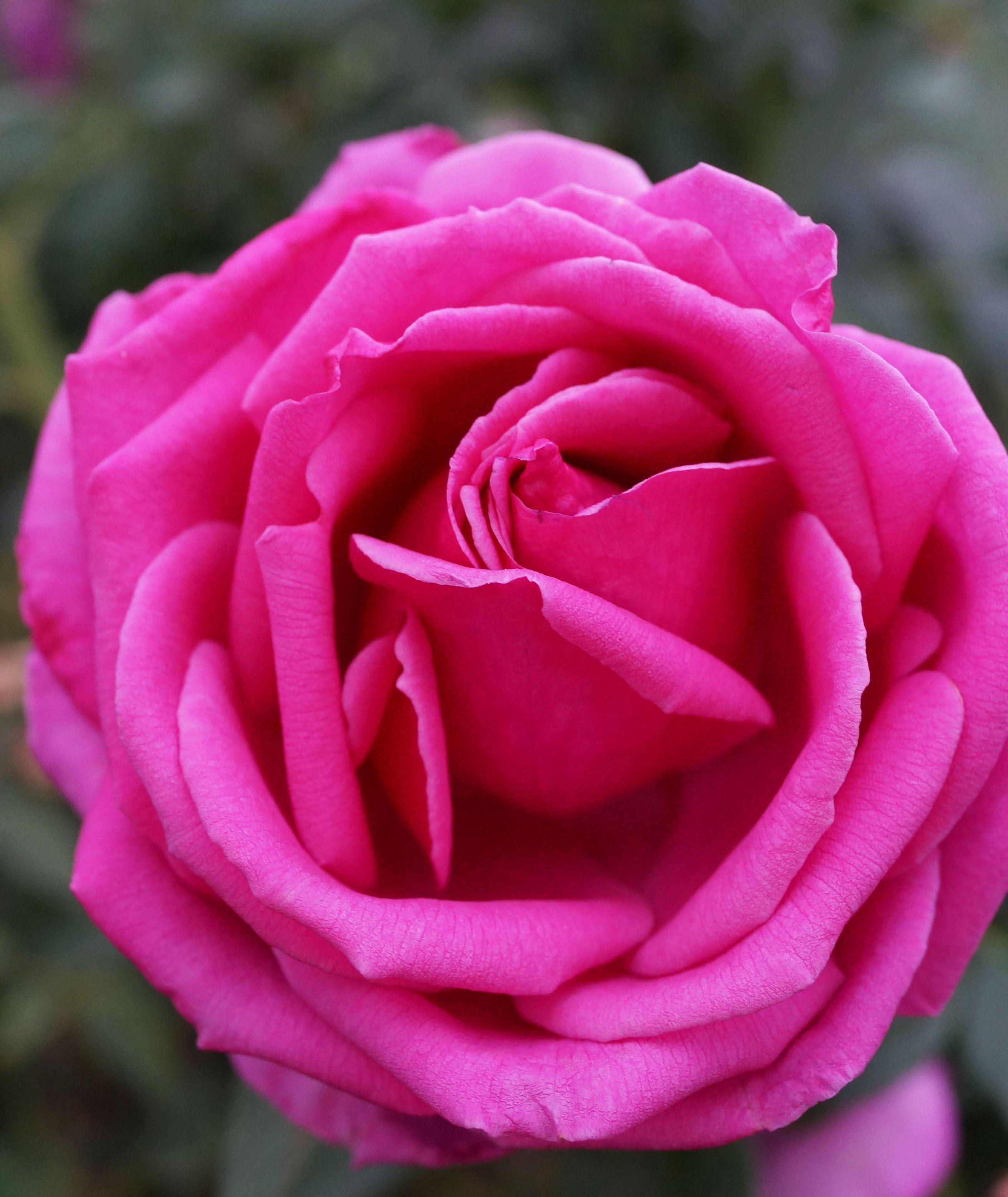 Introducing The Miranda Lambert Rose