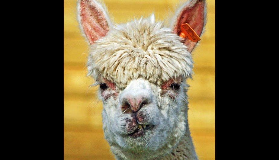 Alpaca Alpacas Con Peinados Tops Pinterest Alpacas Llama - 22 hilarious alpaca hairstyles