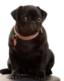 d2b988526 BLACK PUG PUPPIES | chinese crested | For the Home | Black pug ...
