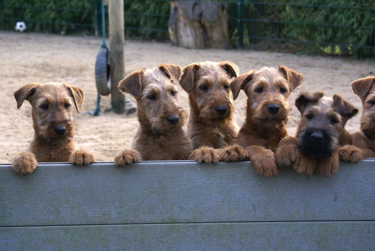 Pin By Josephien On Ierse Terrier Irish Terrier Pitbull Terrier Terrier Mix
