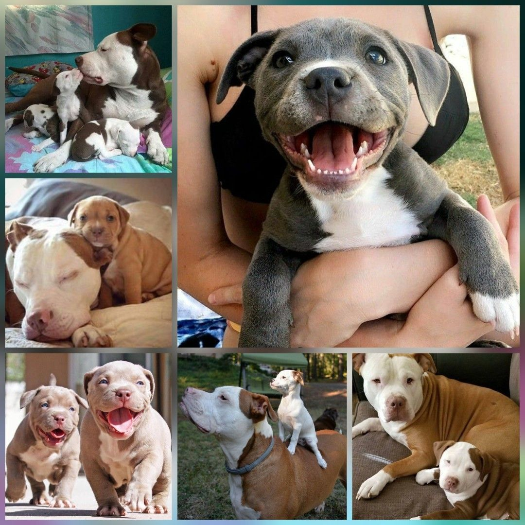 Pitbull Puppy Make Me Happy Pitbulls Pitbullpuppy Pitpuppy