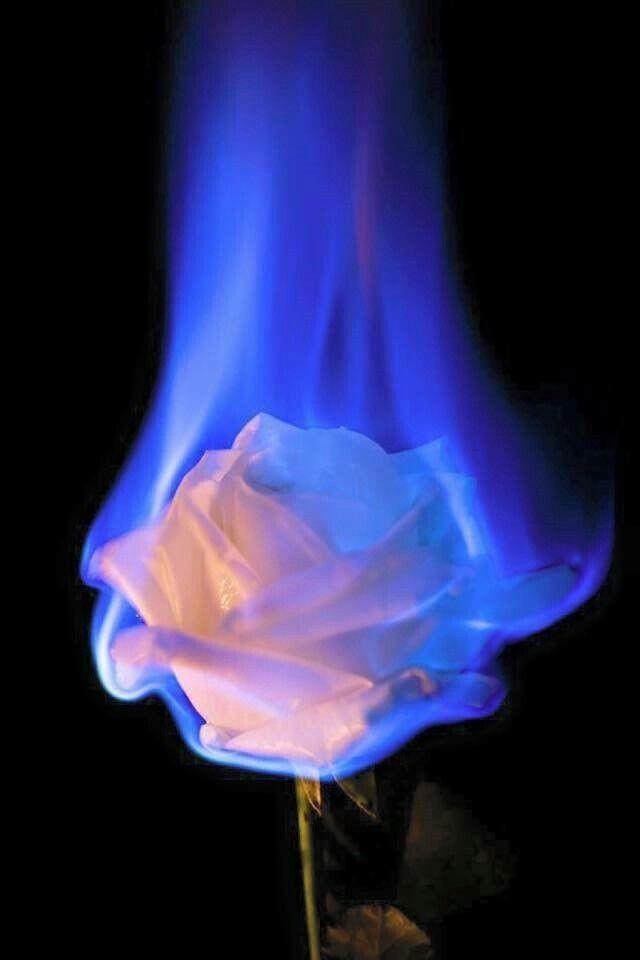 Blazing Beauty Burnt Roses Pinterest Blue Aesthetic Flower