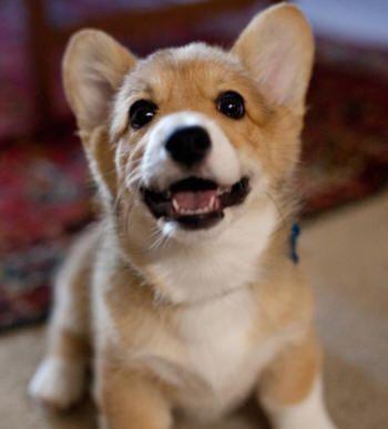Pin By El Winata On Corgi Stress Reliever Corgi Welsh Corgi Puppies Corgi Facts