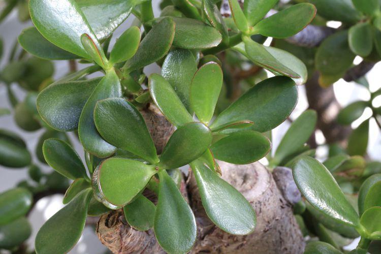 Details About Jade Plant Crassula Money Tree Cuttings Succulent Propagation Pot Crassul Jade Plants Propagating Succulents Propagate Succulents From Leaves