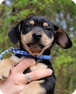 Pin By Trudy Hackney On Look At This Face Beagle Mix Dachshund