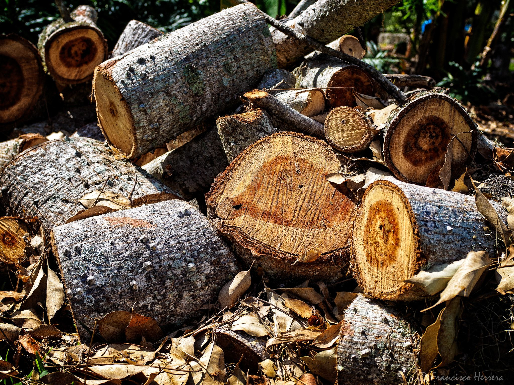 Chopped up tree trunk after hurricane Irma | Tree trunks and Gardens