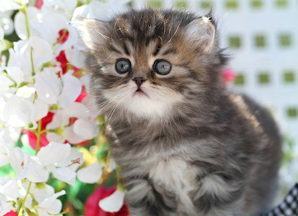 Tabby Persian Kittens For Sale Persian Kittens Angora Cats Teacup Persian Cats