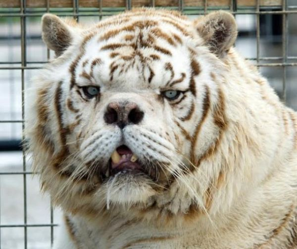 Meet Kenny, An Inbred White Tiger With Down Syndrome