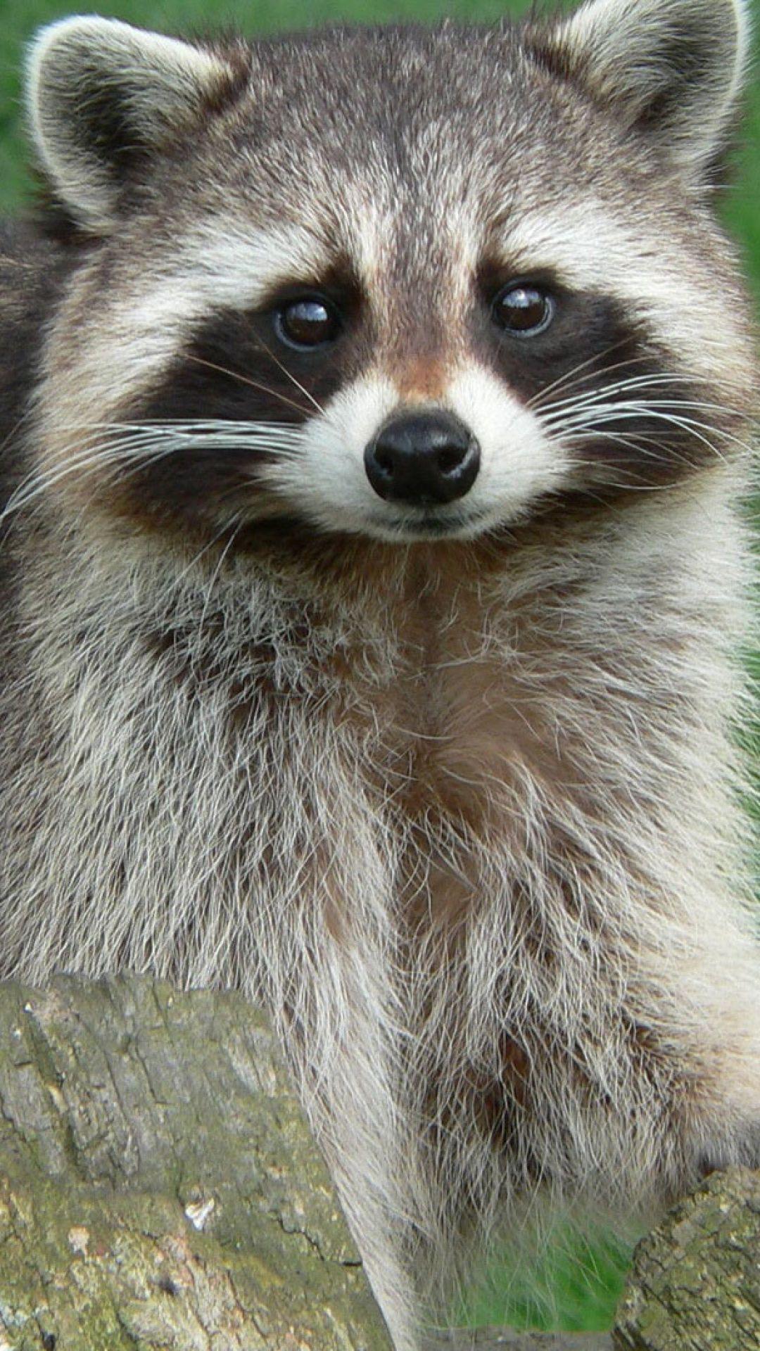 *Smiley face raccoon. (sp) raccoon animals wildlife