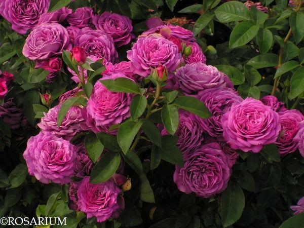 heidi klum rose tantau 2006 szk ka r rosarium my inspiration garden pinterest. Black Bedroom Furniture Sets. Home Design Ideas