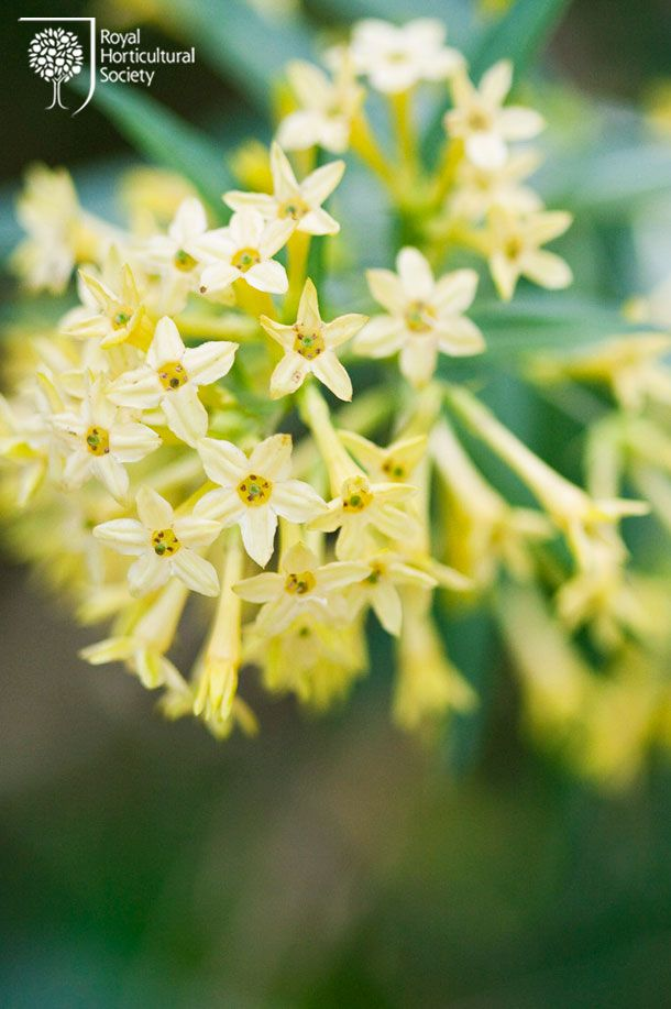 Vintage Gathering Wedding Flowers: Cestrum- a lovely filler flower or for elegant table centrepieces available from February onwards