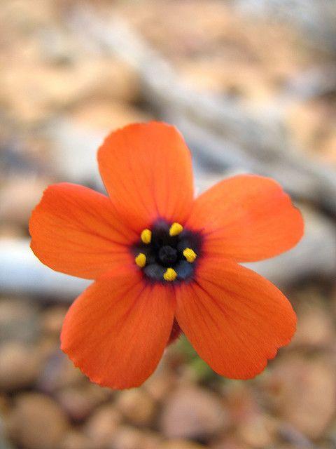 Drosera Hyperostygma Carnivorous Plants Trees To Plant Australian Flowers