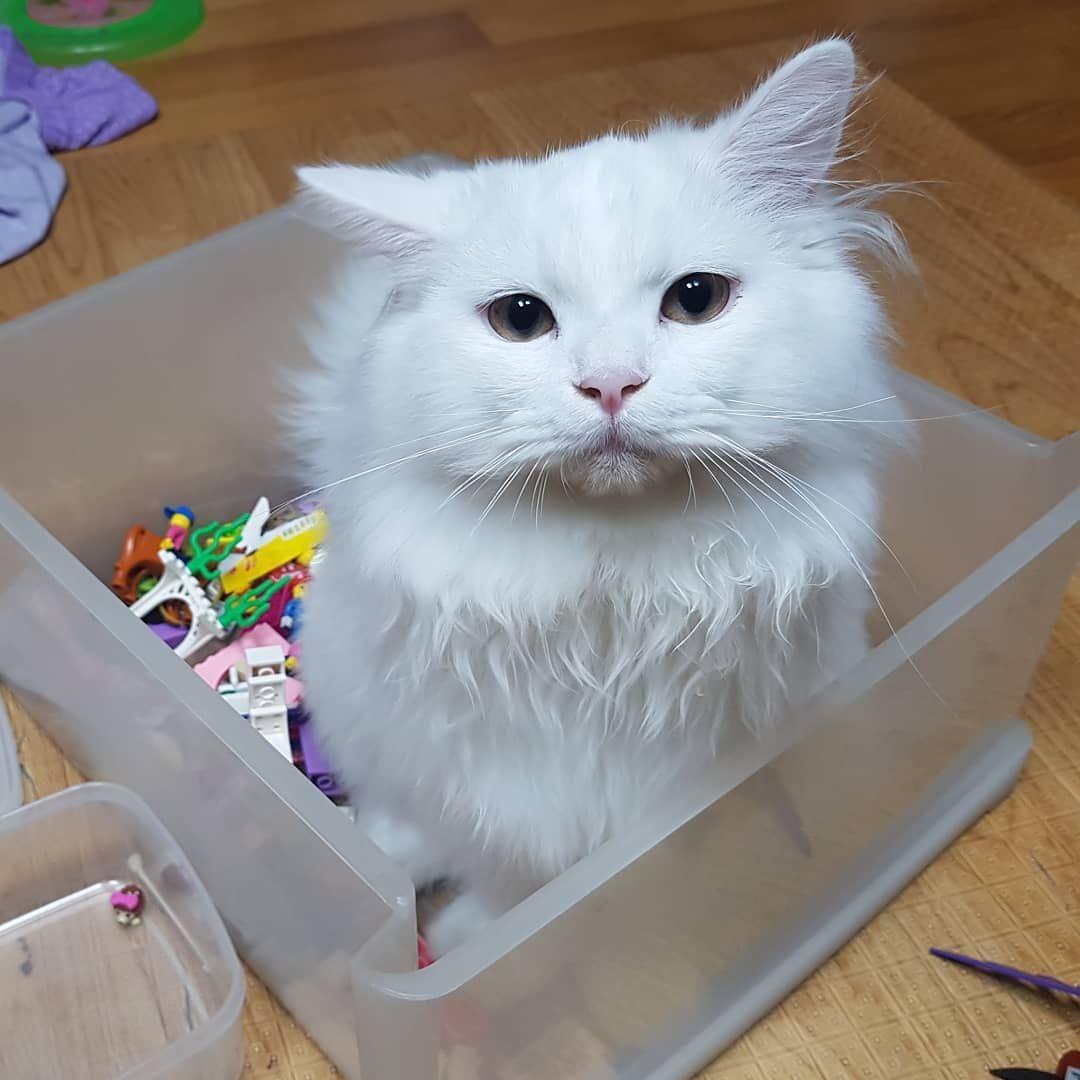 Love Lego.. #catstagram #persiancat #kitty #kitten #cats #catlife #gato #猫 #whitecat #catsofinstagram #pet #petstagram...