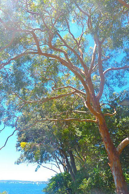 Gum Tree Sydney Australia Visit Australia Landscape Trees Places To Travel