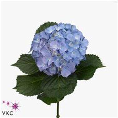 Hydrangea America Flower Bouquet Wedding Wholesale Flowers Flowers Delivered