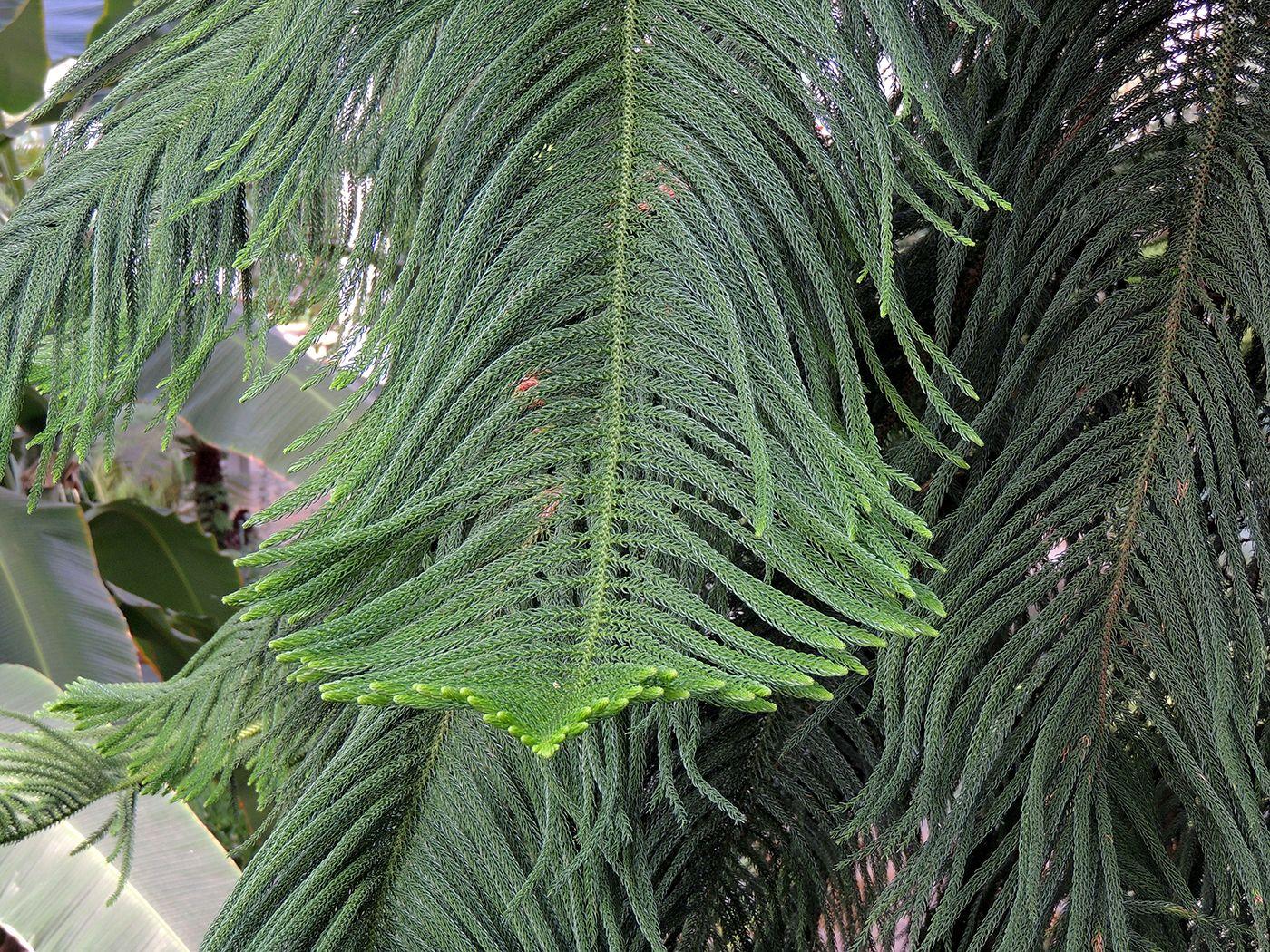 Araucaria excelsa (Pino de pisos) http://www.elhogarnatural.com/Arboles.htm