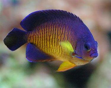 Aquariumdomain Com Saltwater Fish Tanks Marine Aquarium Fish Marine Fish