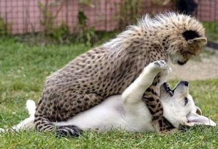 Dog memes Puppy And Cheetah Playing... Check more at http://www.animalmemes.com/dog-memes-puppy-and-cheetah-playing/