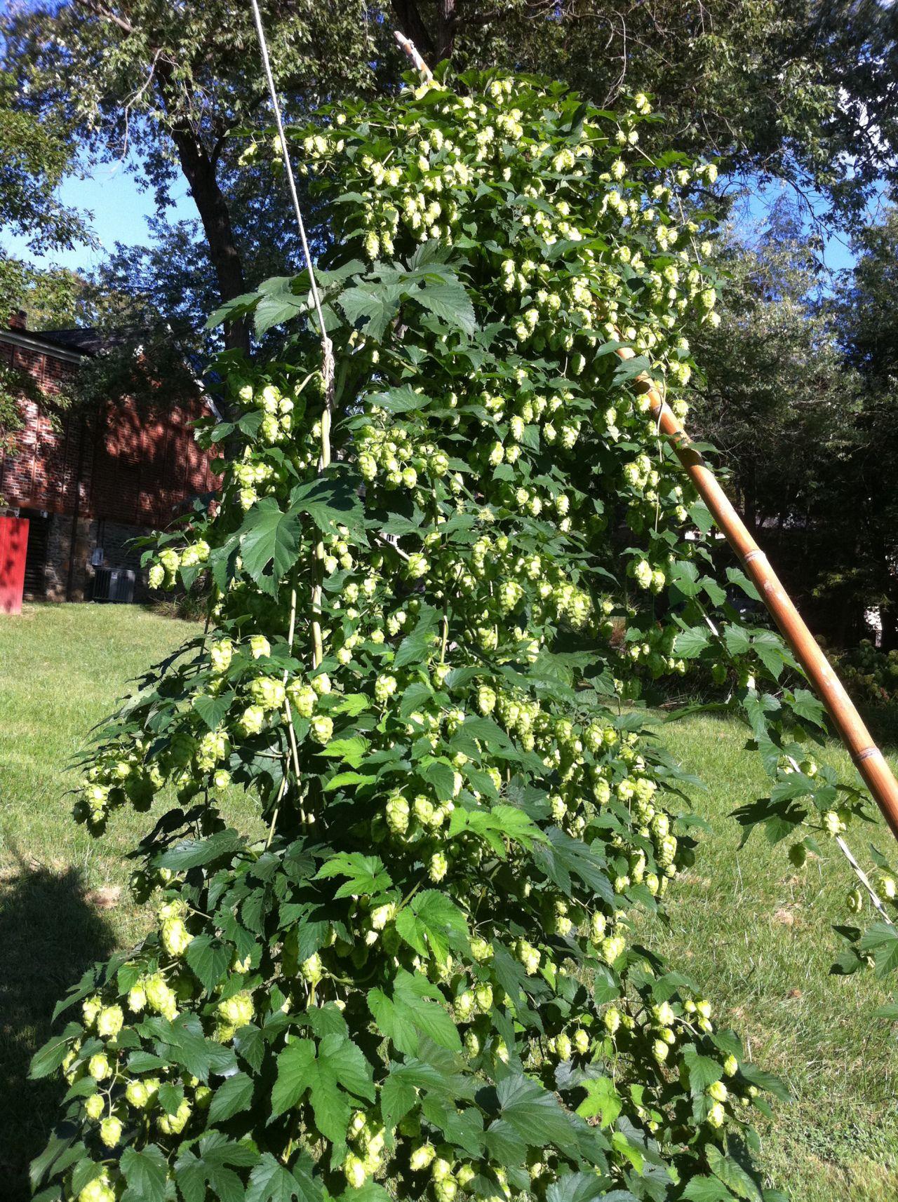 Growing hops part i hops plant hops trellis home brewing