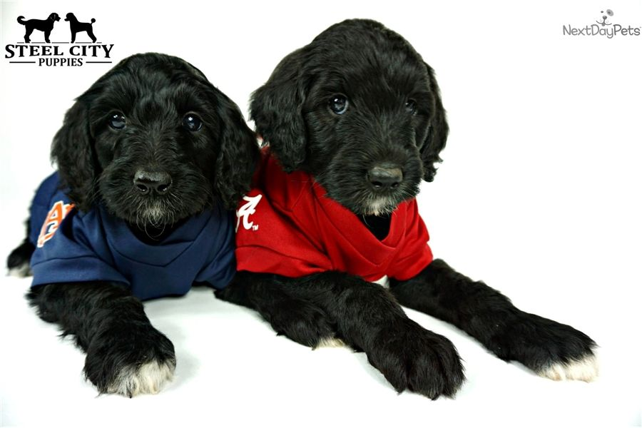 Labradoodle Puppy For Sale Near Birmingham Alabama 318f6f00 Fc31