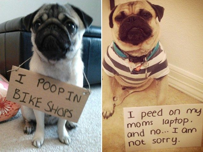 Sorry, Not Sorry: Guilty Pugs Being Shamed For Their Naughty Crimes - I Can…