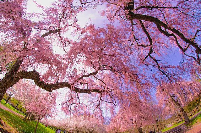 Uwishunu The Best Things To Do In Philadelphia Cherry Blossom Festival Cherry Blossom Cherry Blossom Season