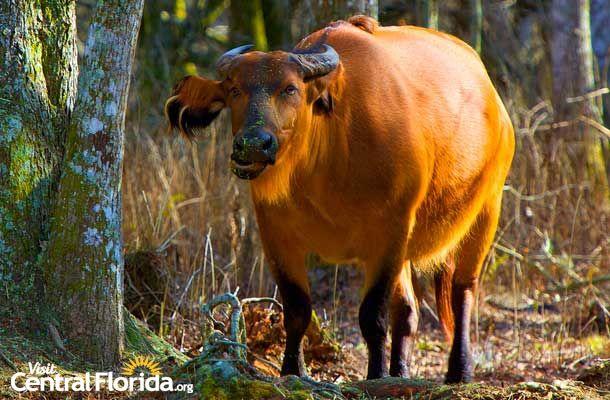 Safari Wilderness Forest Buffalo-Lakeland, FL- Central Florida