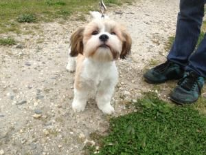 Adopt Buster On Shih Tzu Shih Tzu Dog Dogs