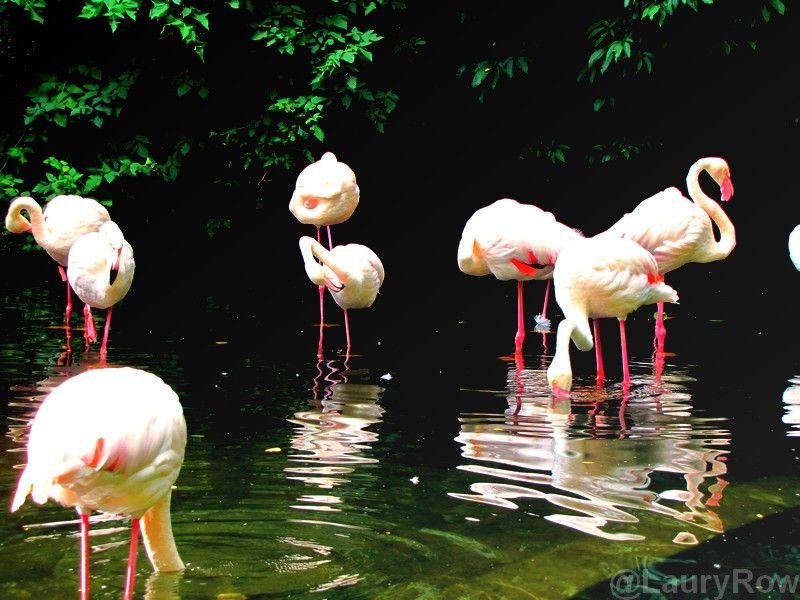 Flamingos! @LauryRow