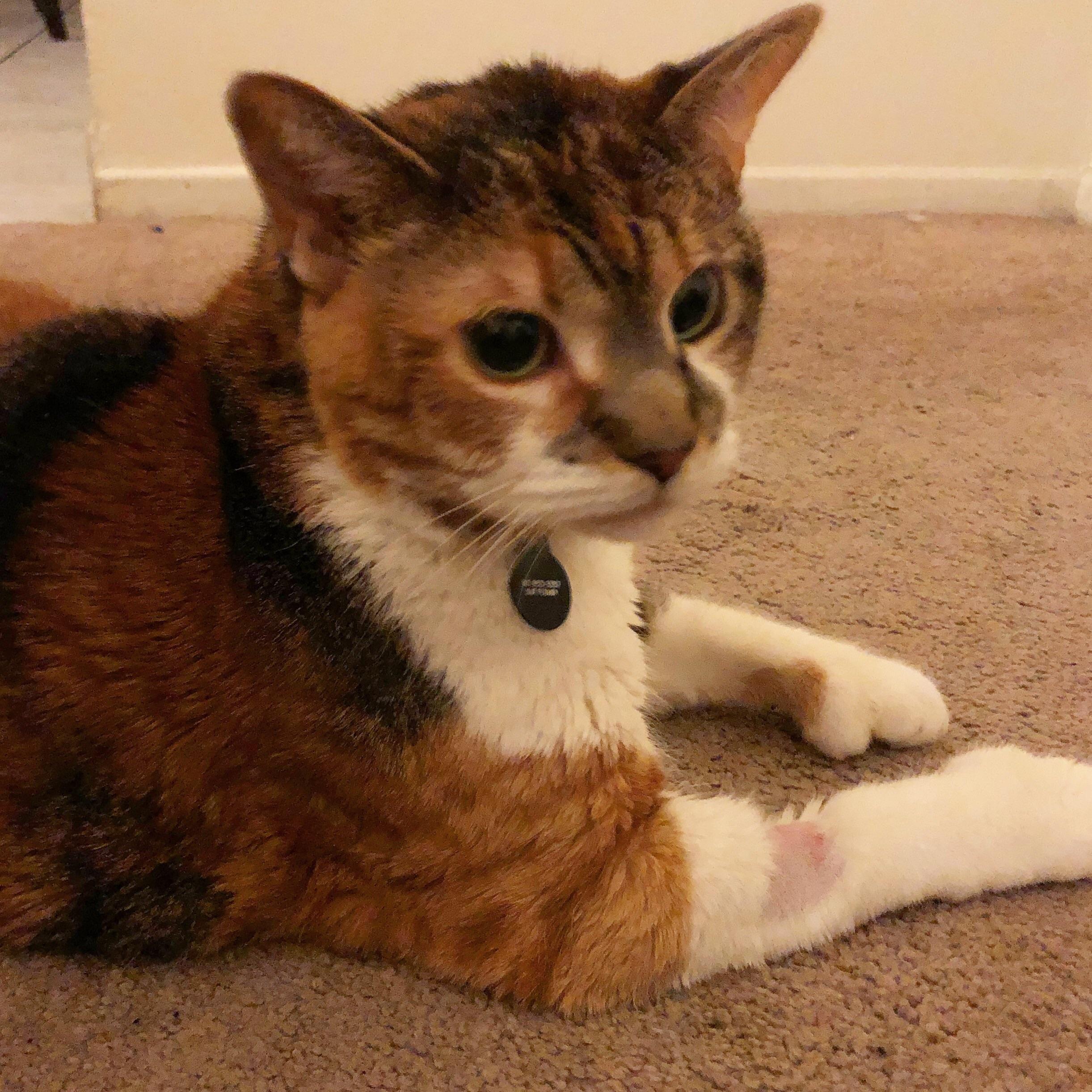 Cat Face Swollen After Dental