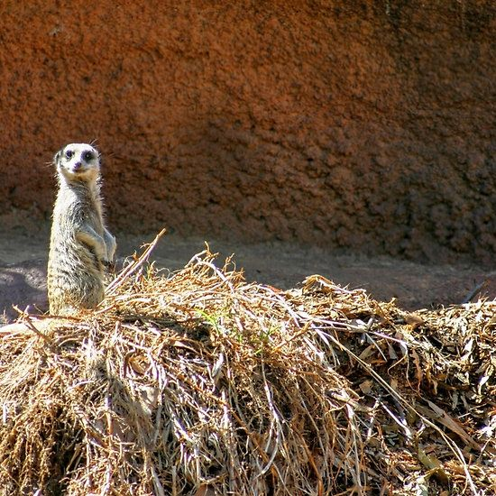 Cheeky Little Meerkat