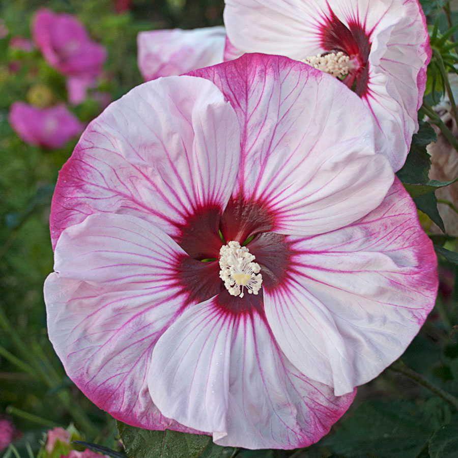 Summerific Cherry Cheesecake Hibiscus At Wayside Gardens
