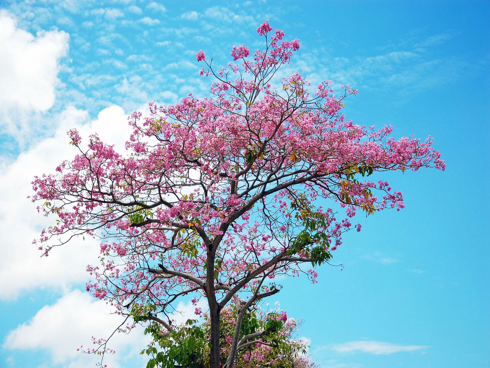 Cherry Blossom Tree 32 HD Wallpaper Wallpaper