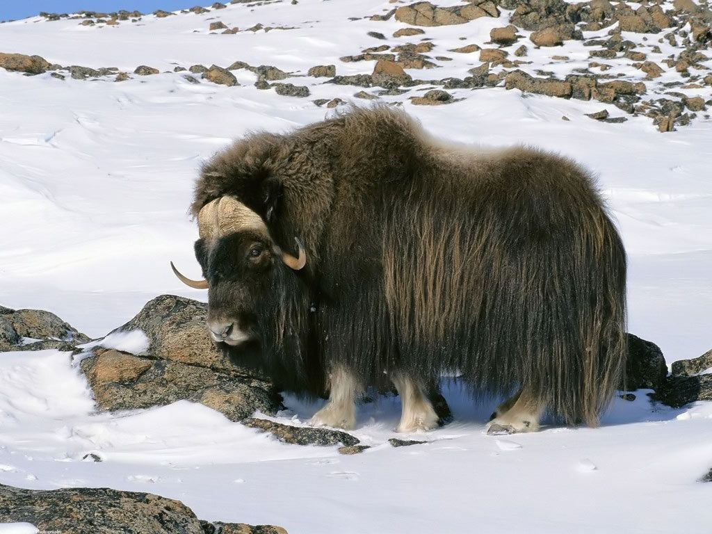 From A Blog About Yaks Snow Animals Musk Ox Animals Wild