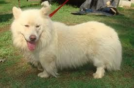 Samoyed Corgi Mix Cute Dogs Corgi I Love Dogs