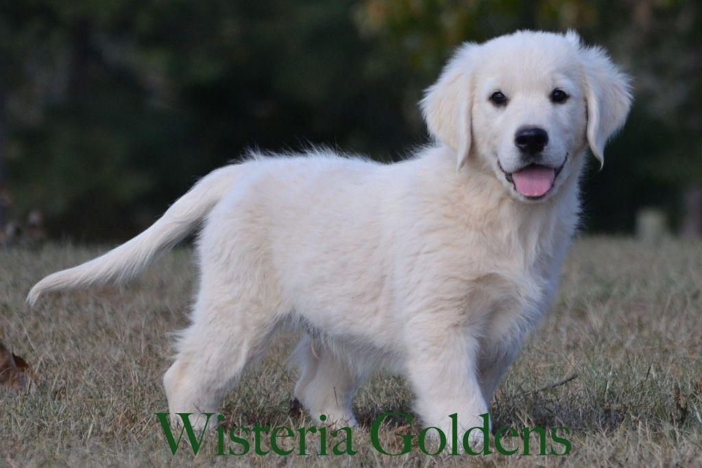 Trained Puppies Puppies English Golden Retriever Puppy Animals