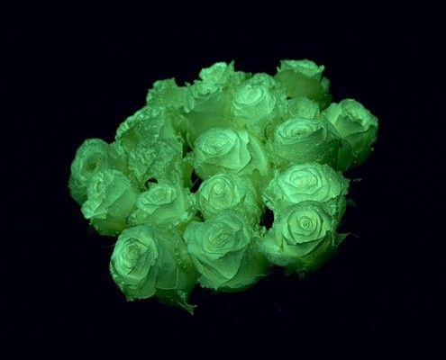 White Glow in the Dark Roses for Halloween