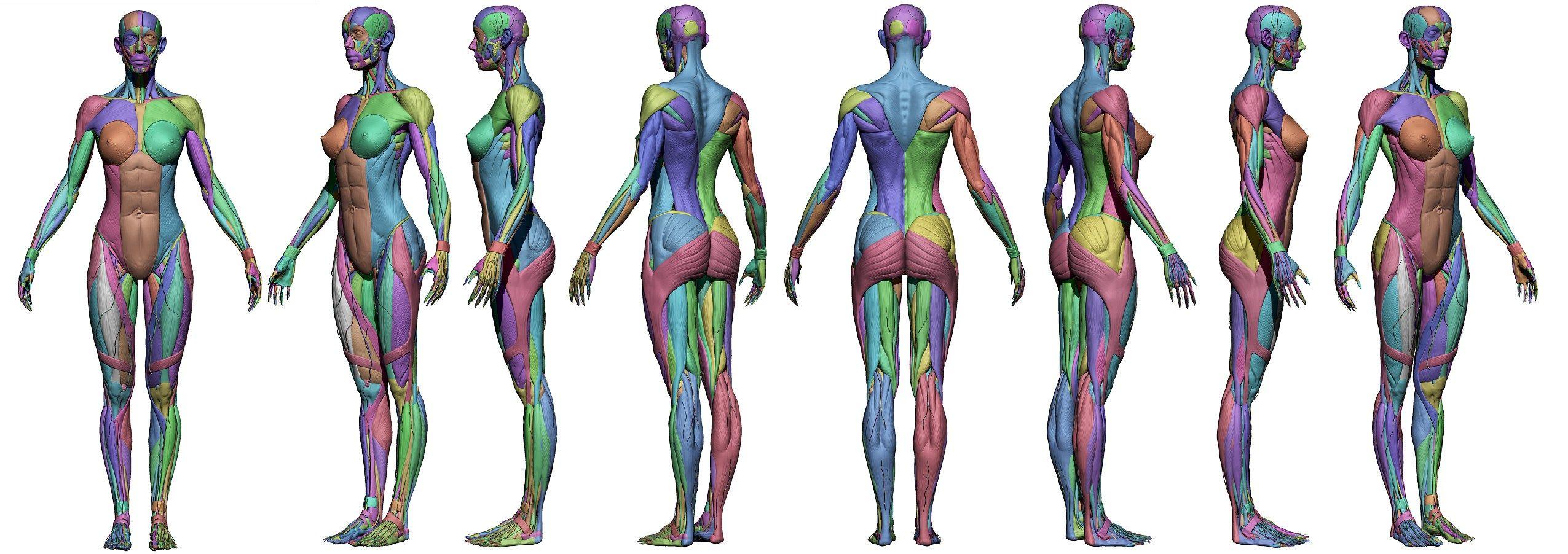 Female muscle anatomy | Anatomy Study (human) | Pinterest