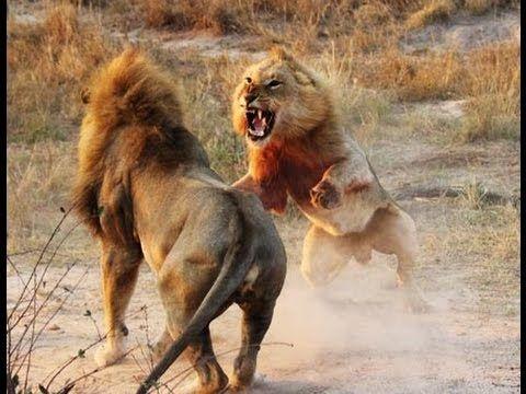Guerra de Leões [Dublado] Documentário #Documentário #Documentário17