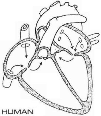 human heart graphic desire Pinterest Human heart