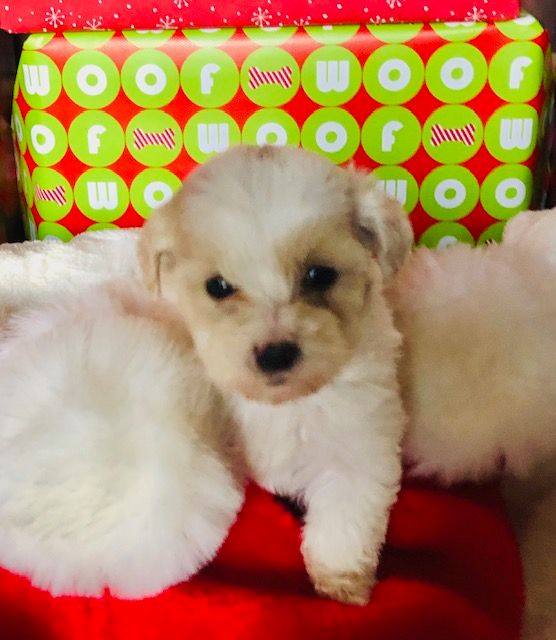 Meet Mina Female Maltipoo Doggie For Sale At Enfield Connecticut Find Cute Malti Poo Puppies Dogs And Bre In 2020 With Images Cute Puppies Puppies Puppies For Sale