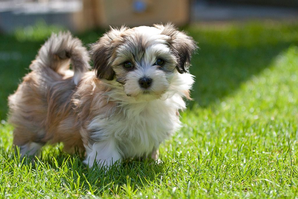 Online Photography Nature Photography Animal Photography Professional Photography Landscapes Travel Photograp Havanese Puppies Havanese Animal Photography