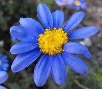Flor, Margarita, Azul, Bloom, Naturaleza