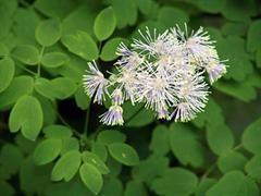 Talittro a foglie di aquilegia [Thalictrum aquilegifolium]